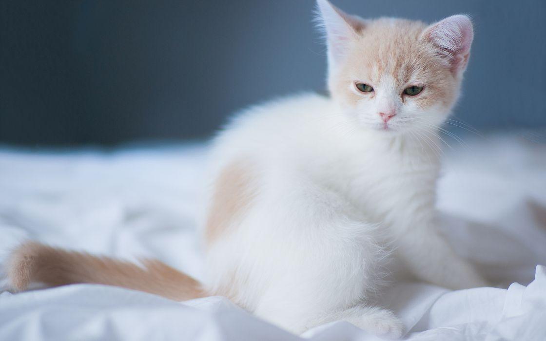 cats kittens babies cute face eyes wallpaper