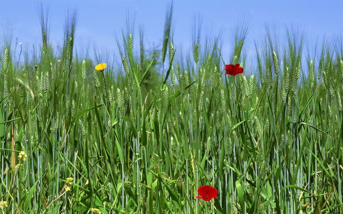 field wheat ears flowers wallpaper