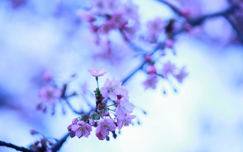 Cherry Blossom Flowers macro wallpaper