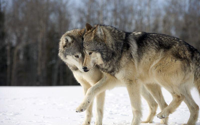 wolves wolf wallpaper