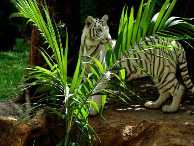 Tiger wallpaper