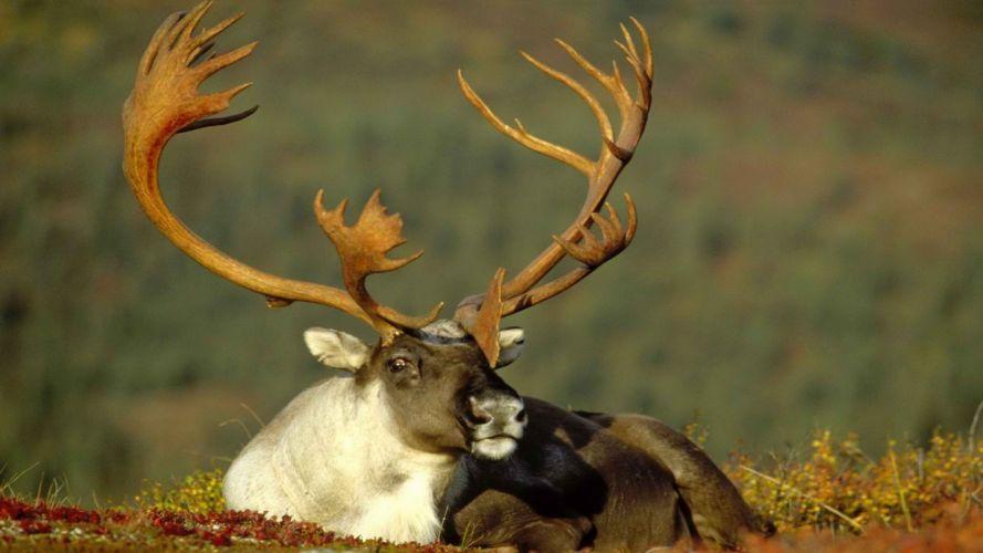 Alaska male caribou wallpaper
