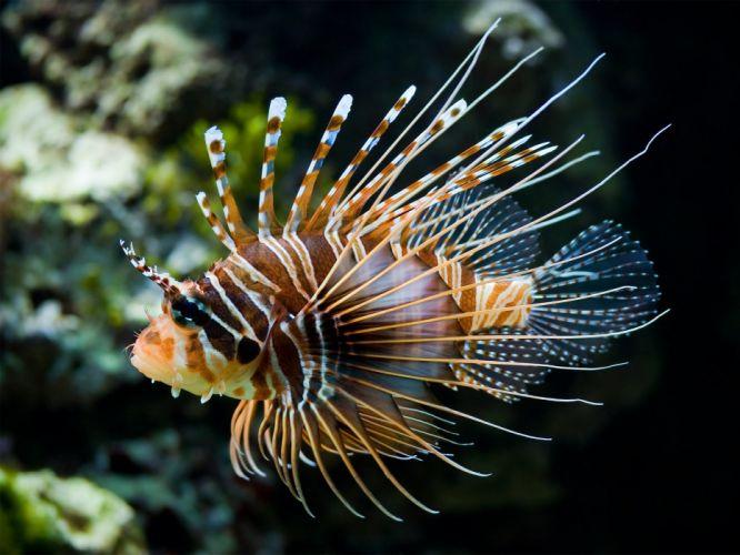 water fish lionfish underwater sea wallpaper