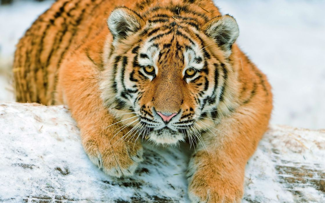 snow animals tigers wallpaper