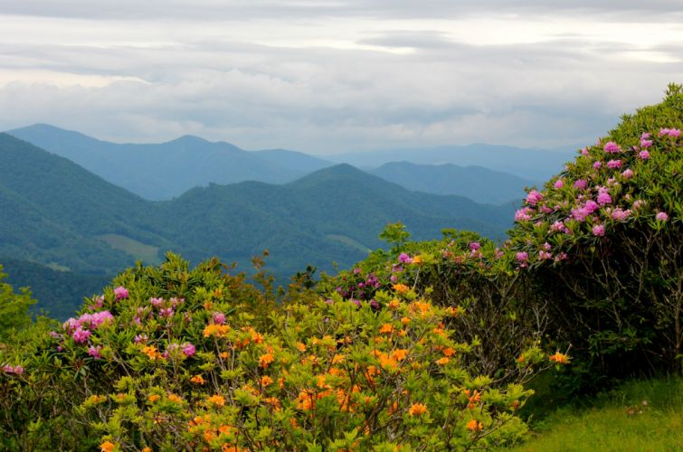Scenery Mountains USA Rhododendrons North Carolina Nature Flowers mountains landscapes wallpaper