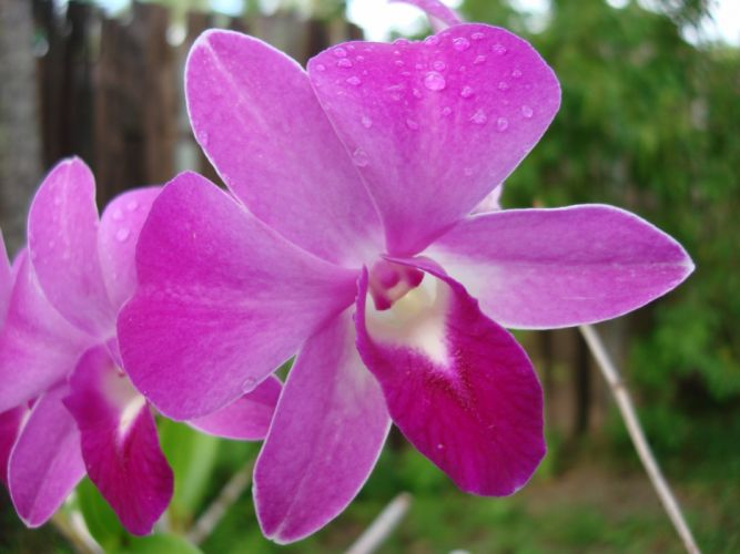 flowers orchids pink flowers wallpaper