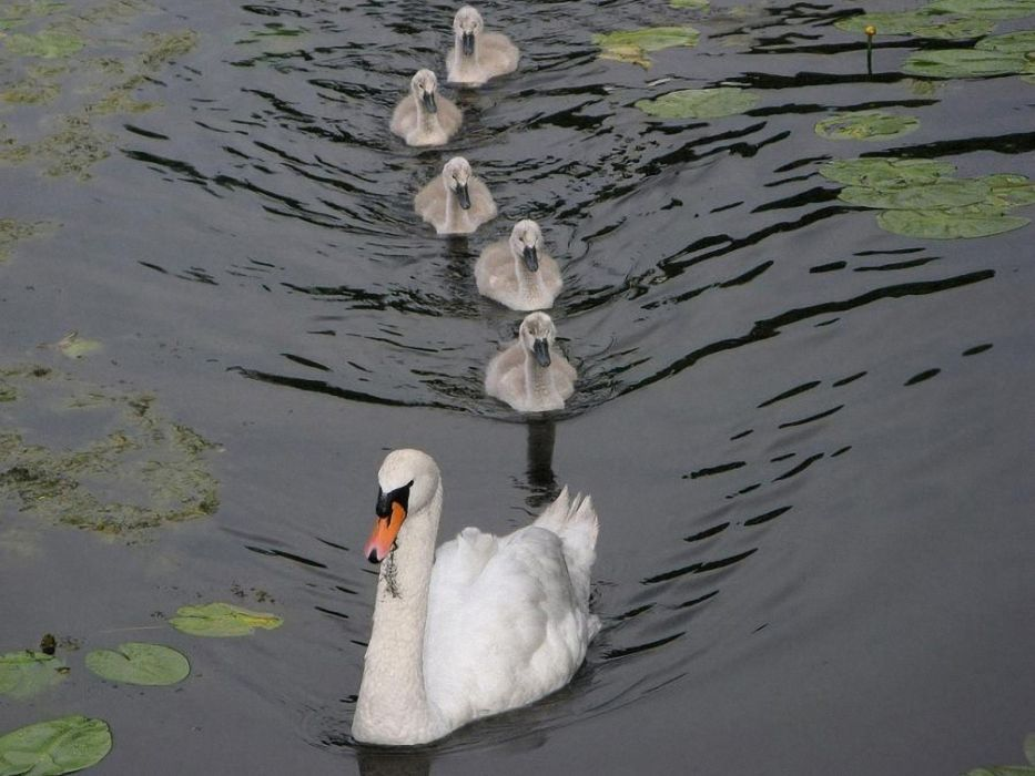 nature swans swimming ripples lily pads baby birds birds wallpaper