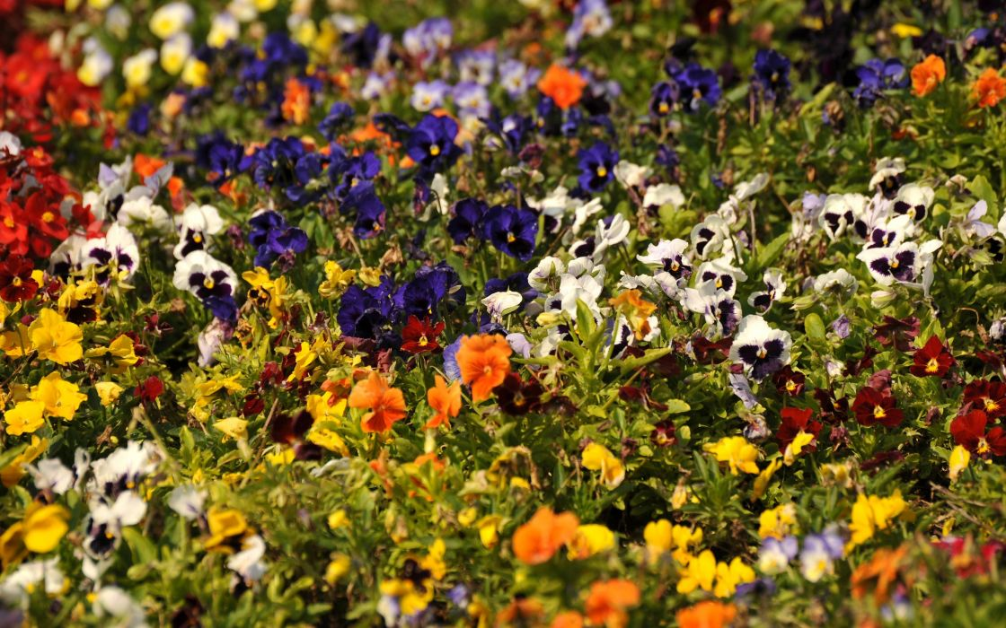 multicolor flowers pansies wallpaper
