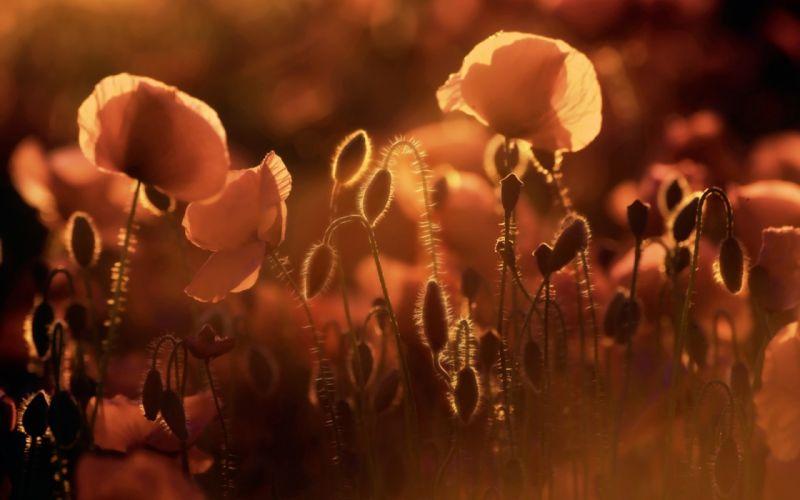 flowers fields poppy wallpaper