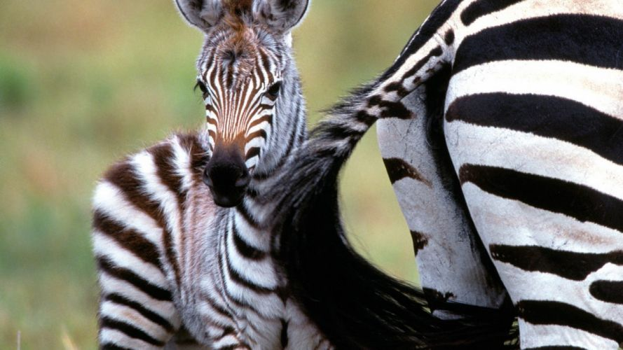 nature animals wildlife zebras Africa Kenya wallpaper