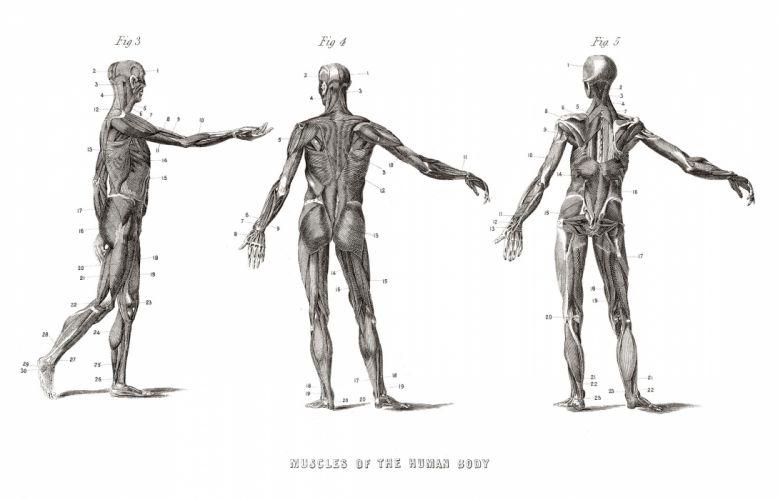 anatomy human wallpaper