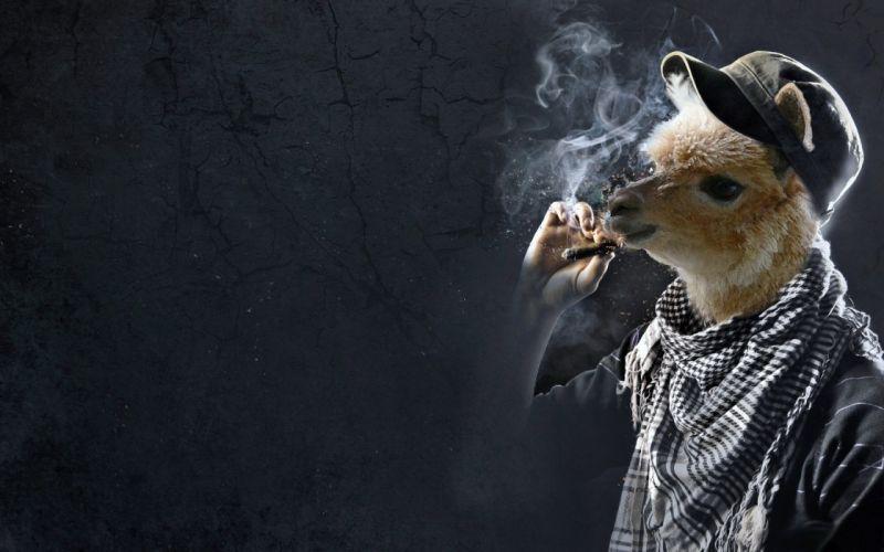 smoking funny llama digital art cigarettes wallpaper
