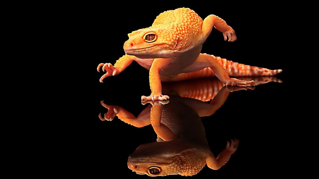 nature geckos reflections black background wallpaper
