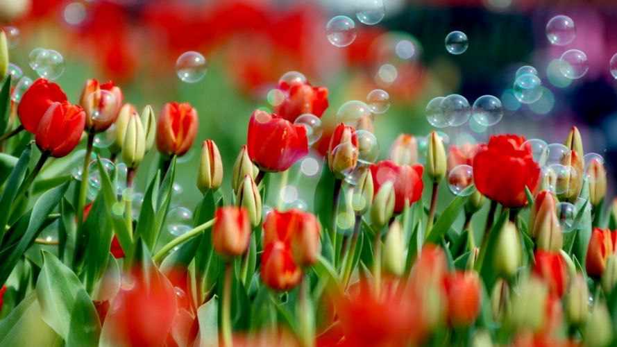 nature flowers bubbles tulips red flowers wallpaper