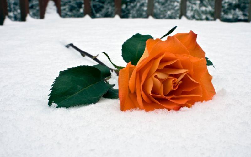 snow flowers roses wallpaper