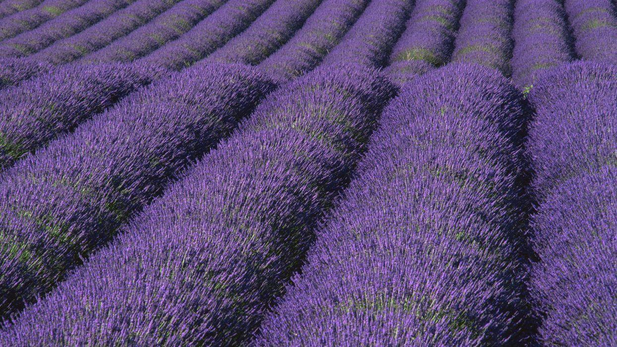 nature lavender wallpaper