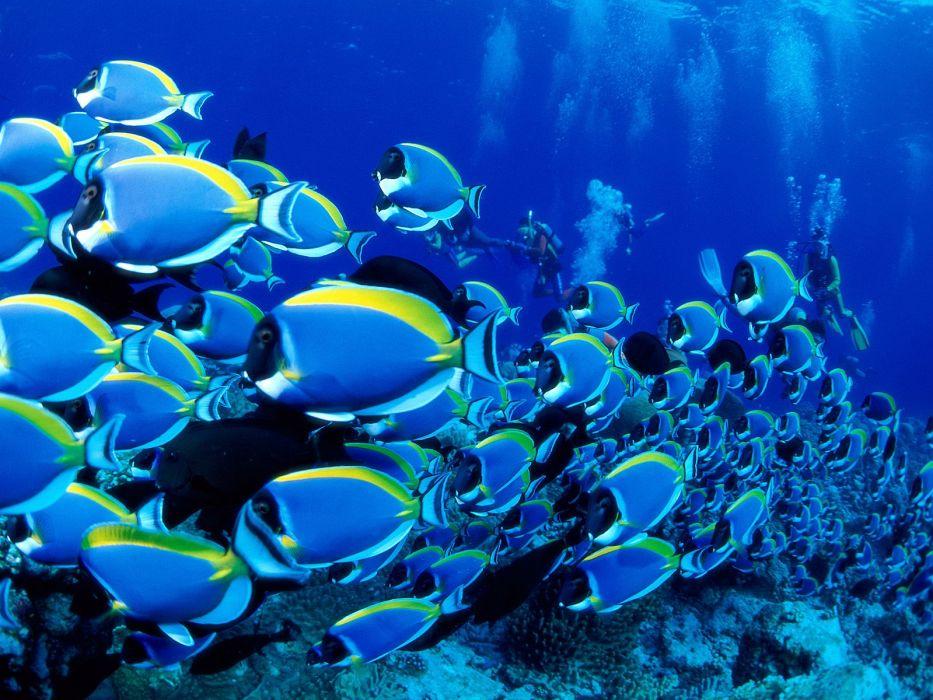 ocean underwater saltwater fish powder blue tang fish sea wallpaper