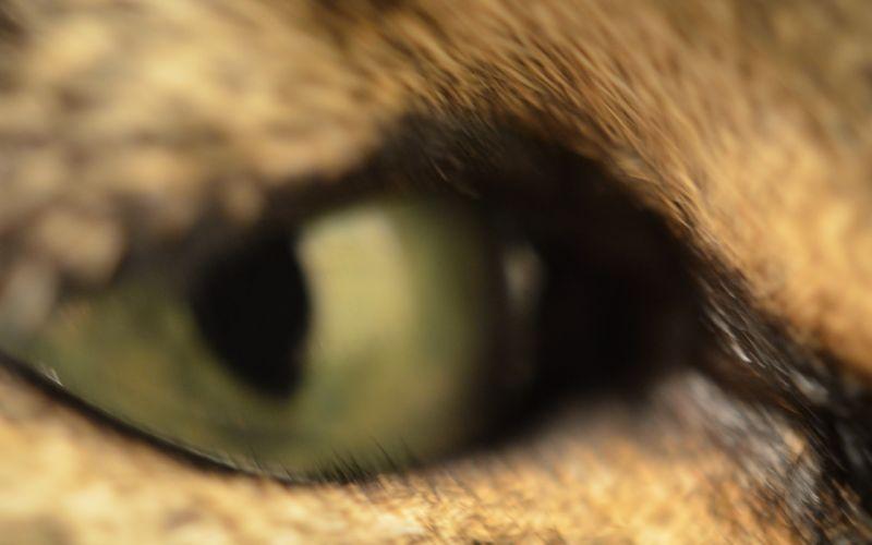 close-up eyes cats wallpaper