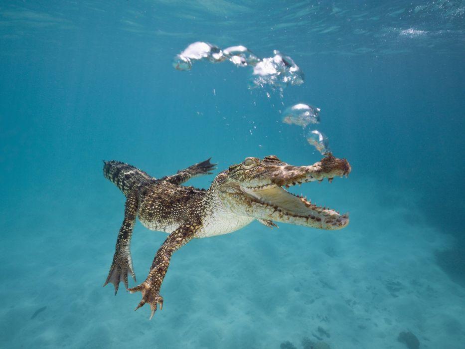 crocodiles Australia reptiles underwater saltwater wallpaper