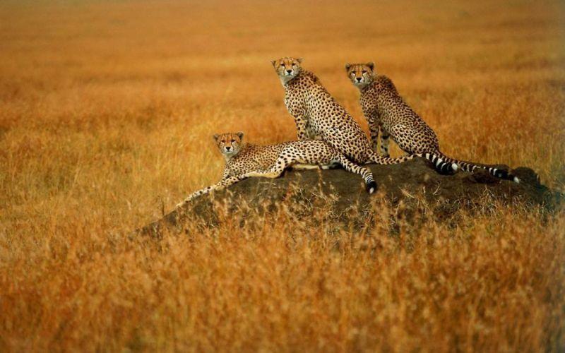 animals cheetahs wild cats savanna wallpaper
