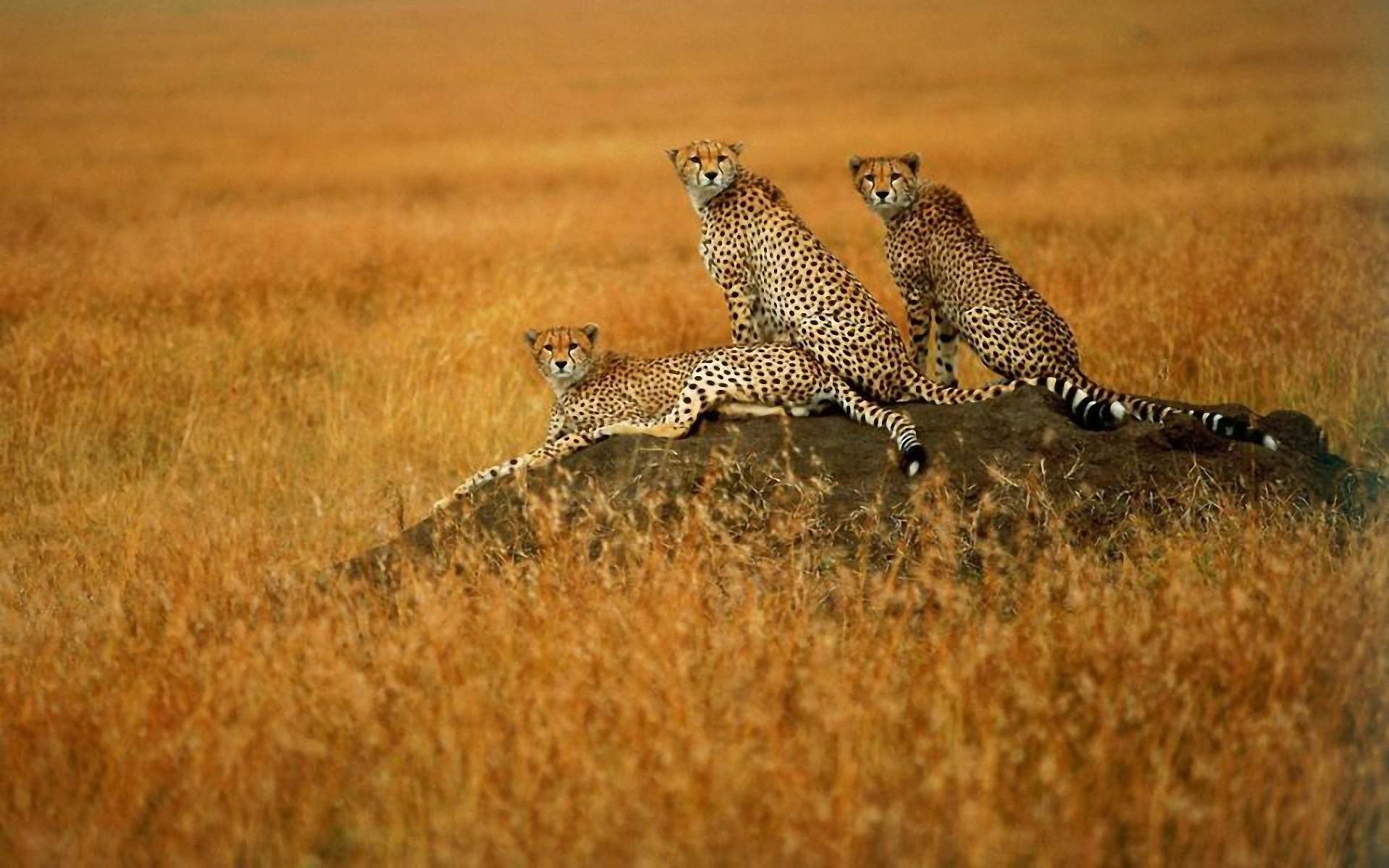 природа животные Гепарды камни трава дерево горизонт  № 276732  скачать