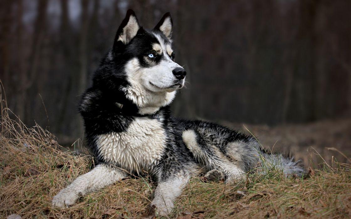 animals dogs husky pets wallpaper