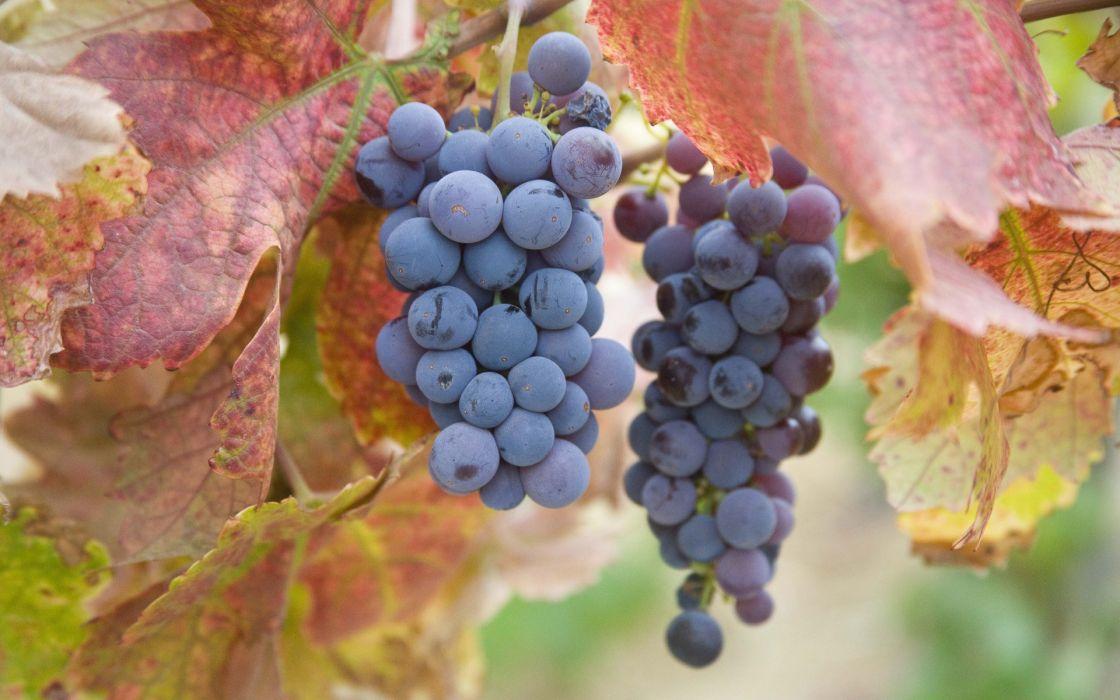 Autumn Season Fruits Grapes Harvest Fruit Trees Wallpaper 1920x1200 60396 Wallpaperup