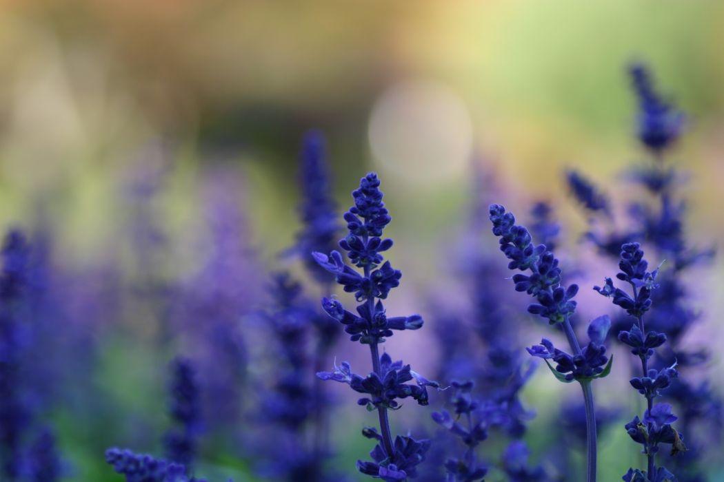 flowers lavender blue flowers wallpaper