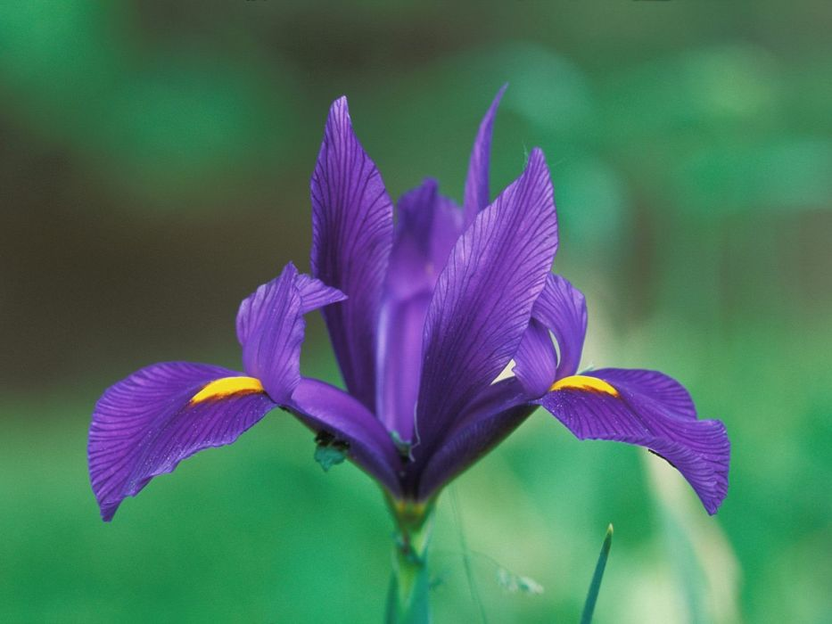 purple flowers irises wallpaper