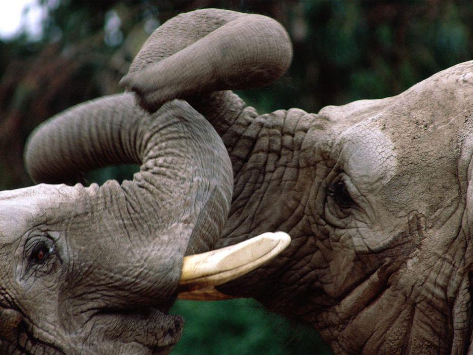 elephants Kenya Elephant 6 trunk wallpaper