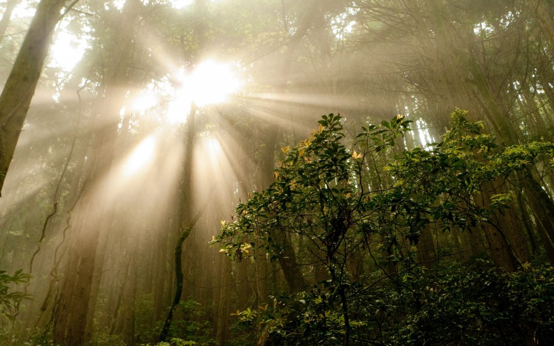 landscapes nature trees forest sunlight wallpaper