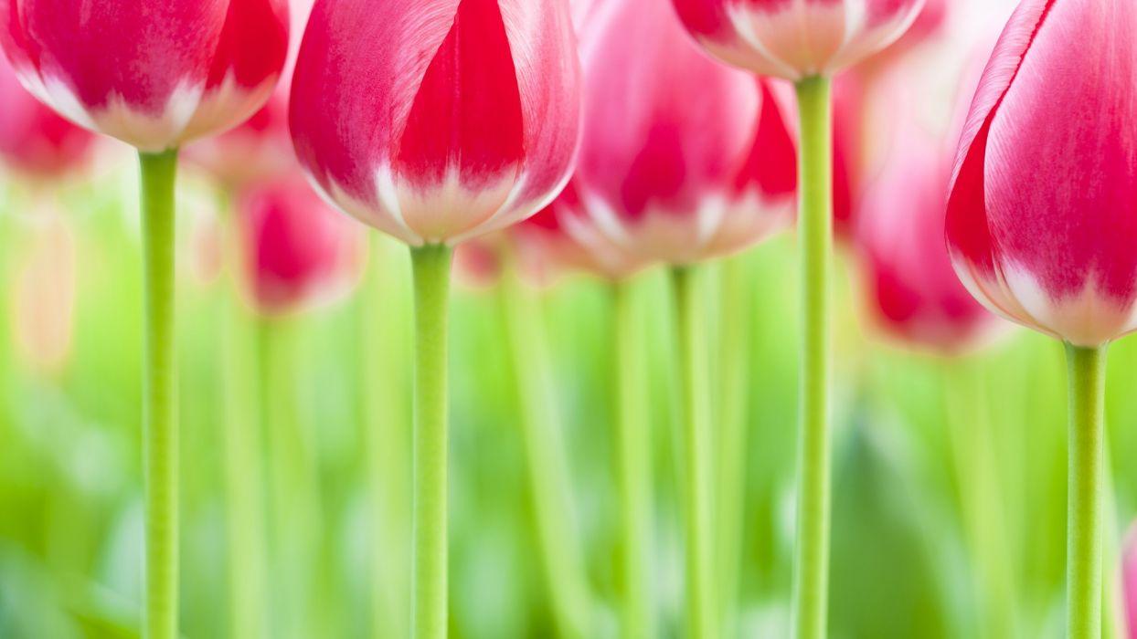 tulips Netherlands wallpaper