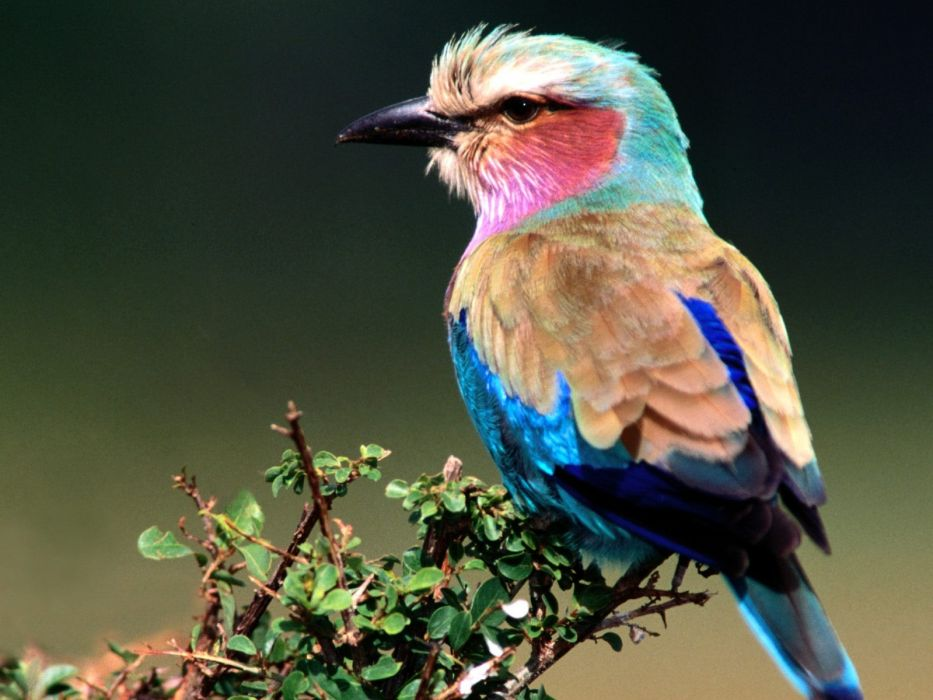 nature birds Lilac-breasted Roller wallpaper
