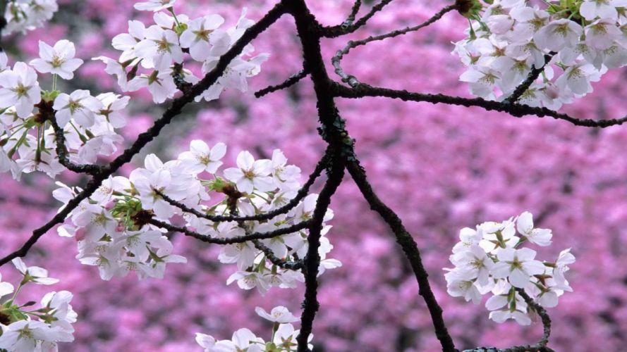 cherry blossoms spring (season) wallpaper