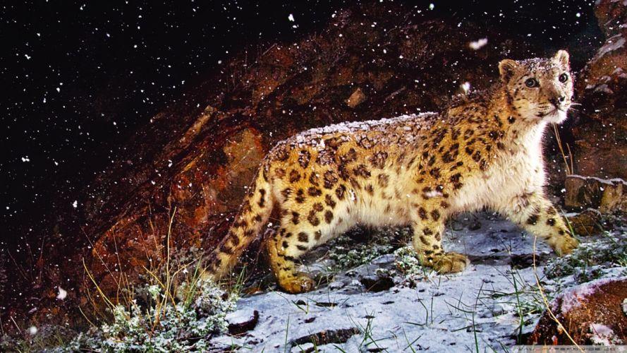 nature animals snow leopards wallpaper