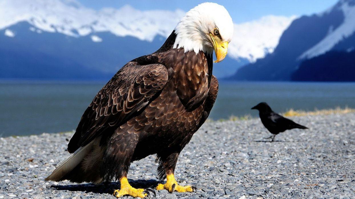 mountains landscapes snow birds animals eagles crows wallpaper
