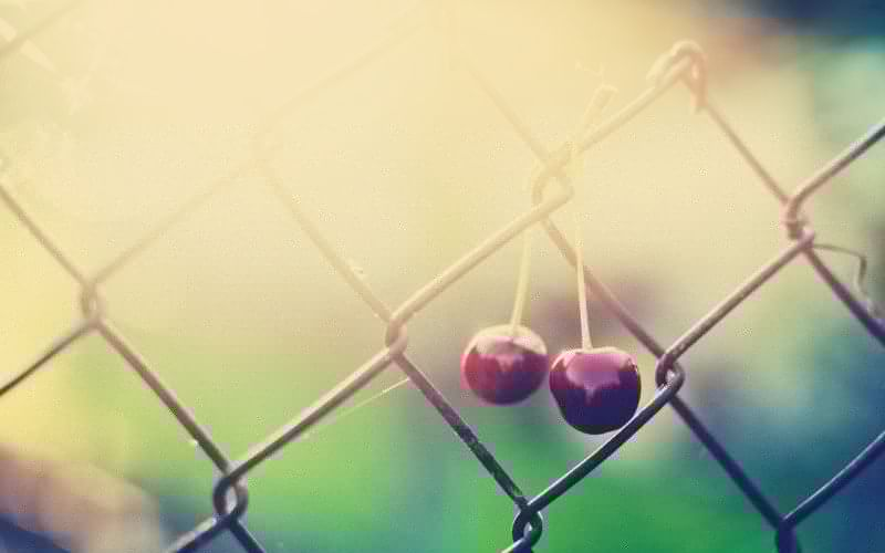 fences fruits cherries sunlight chain link fence wallpaper