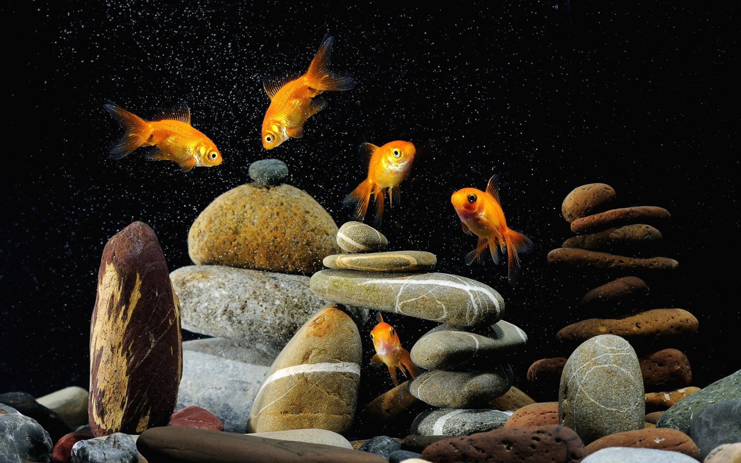 Animals goldfish aquarium wallpaper 2560x1600 61171 for Aquarium goldfische