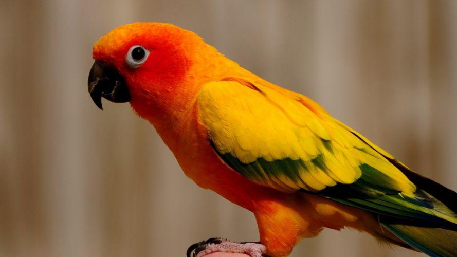 birds parrots sun conure conures wallpaper