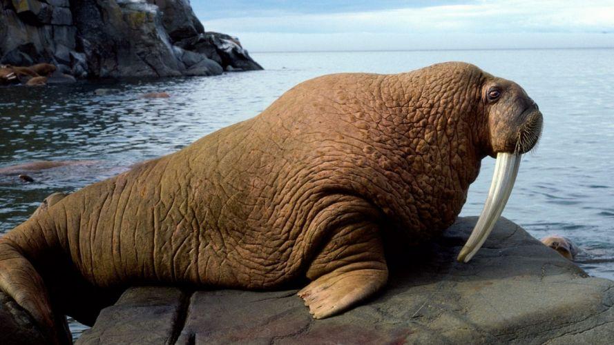 bull walrus mammals wallpaper