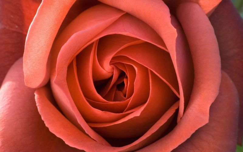 flowers roses wallpaper
