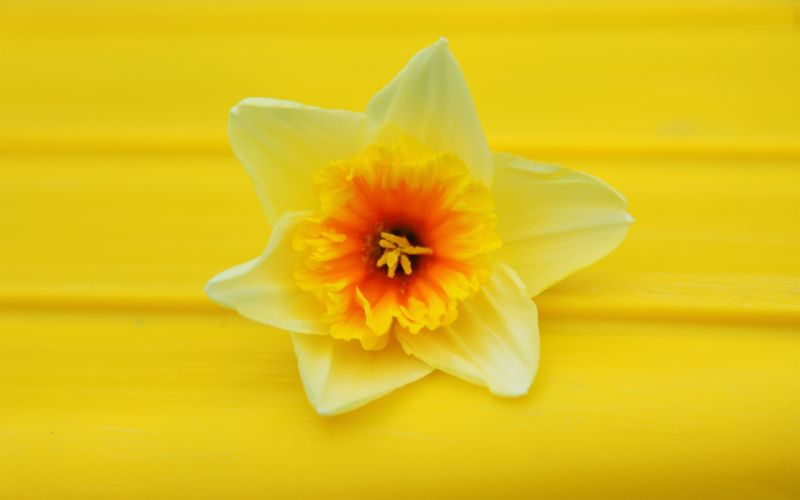 flowers daffodils yellow flowers wallpaper