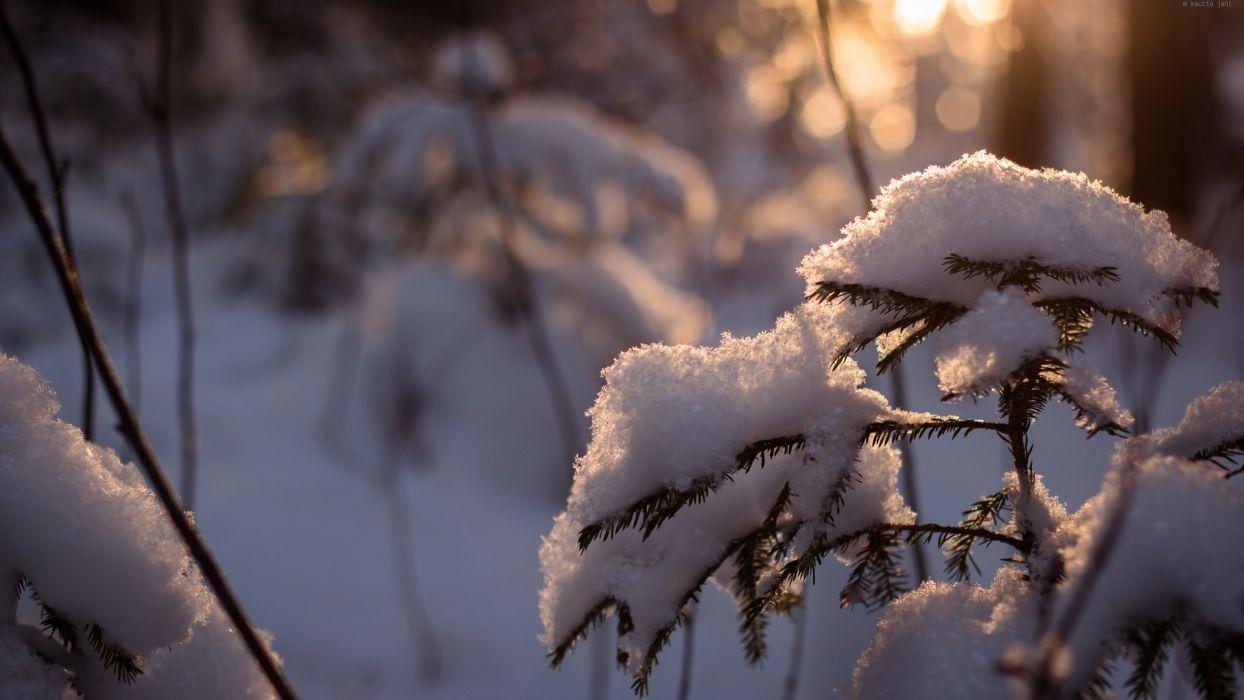 winter snow trees cold sunlight Snowy pine trees wallpaper