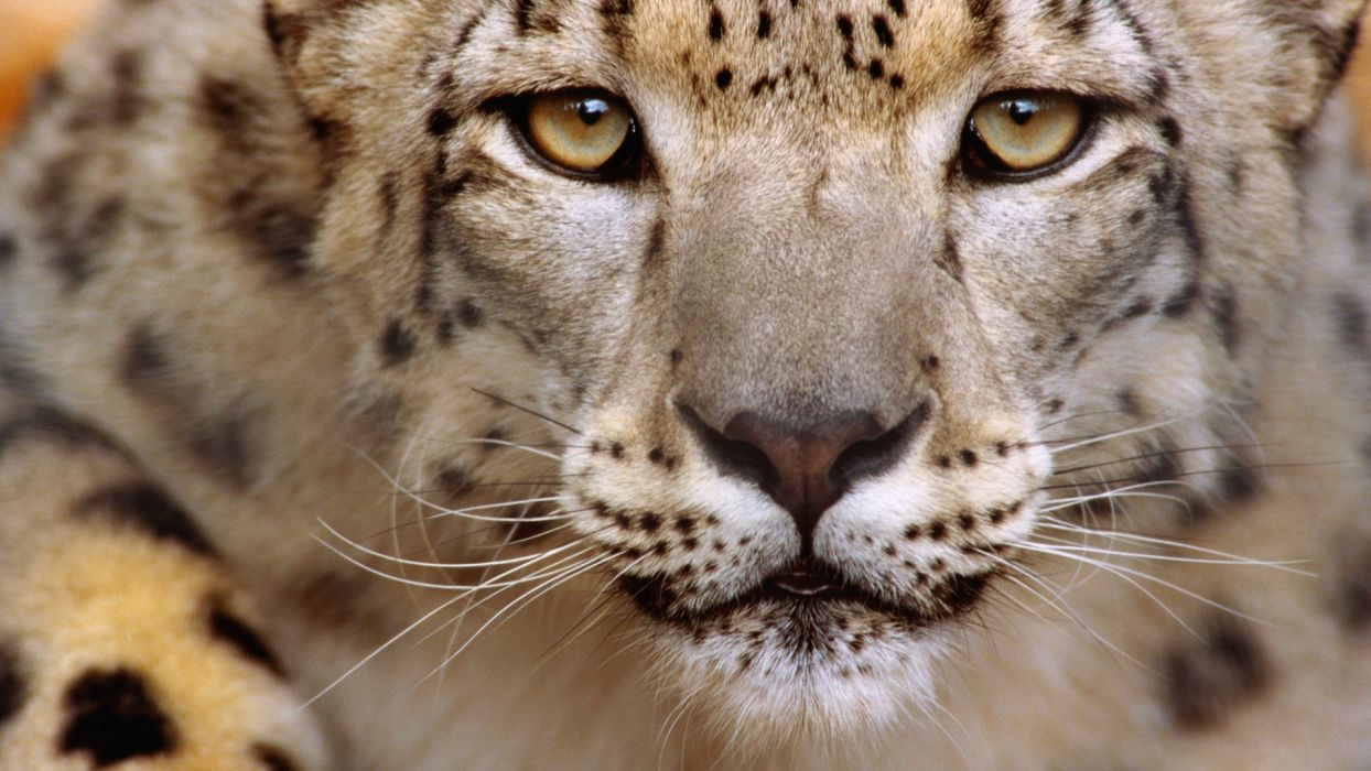 snow leopards wallpaper