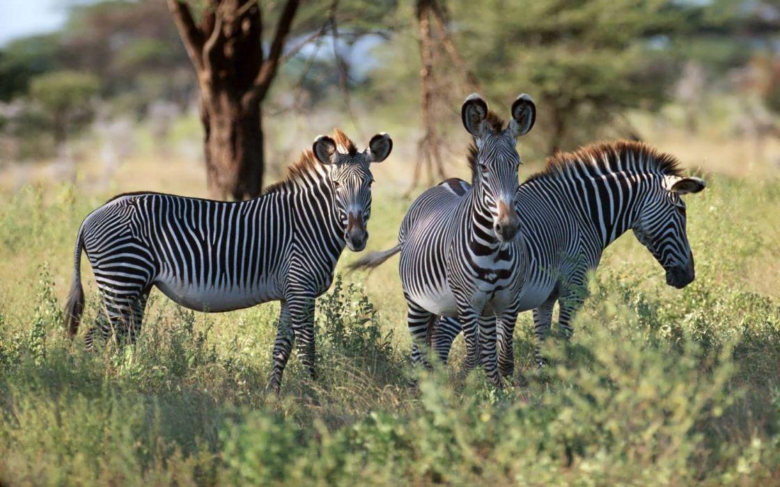 nature zebras wallpaper