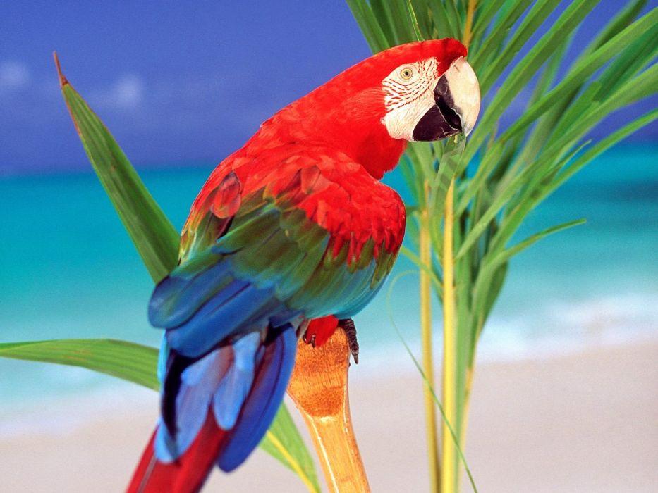 birds parrots Scarlet Macaws wallpaper