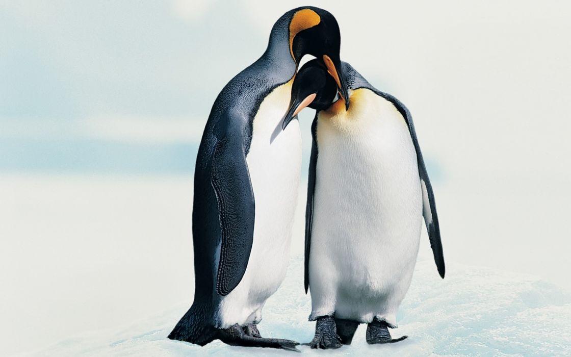 birds animals penguins wallpaper