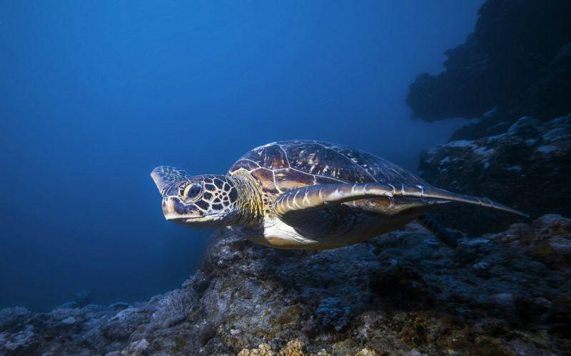 water animals turtles sealife wallpaper