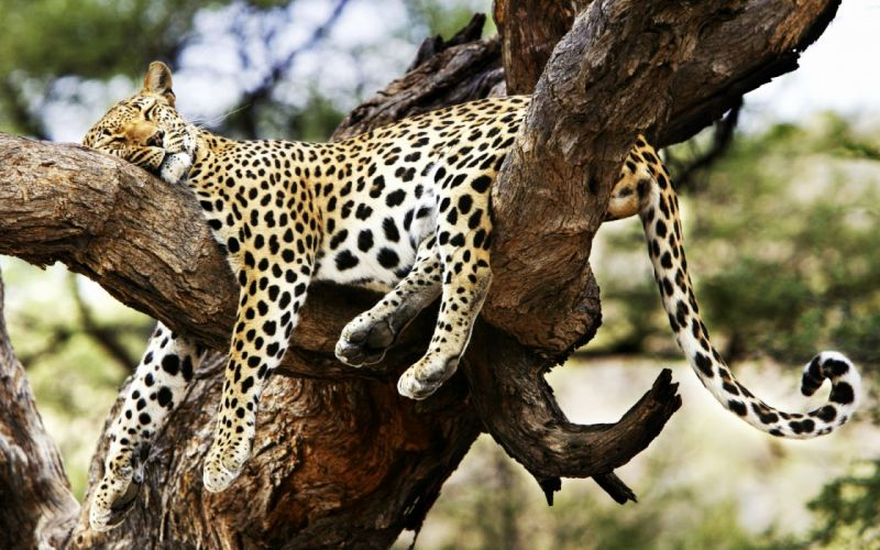 animals cheetahs sleeping wallpaper