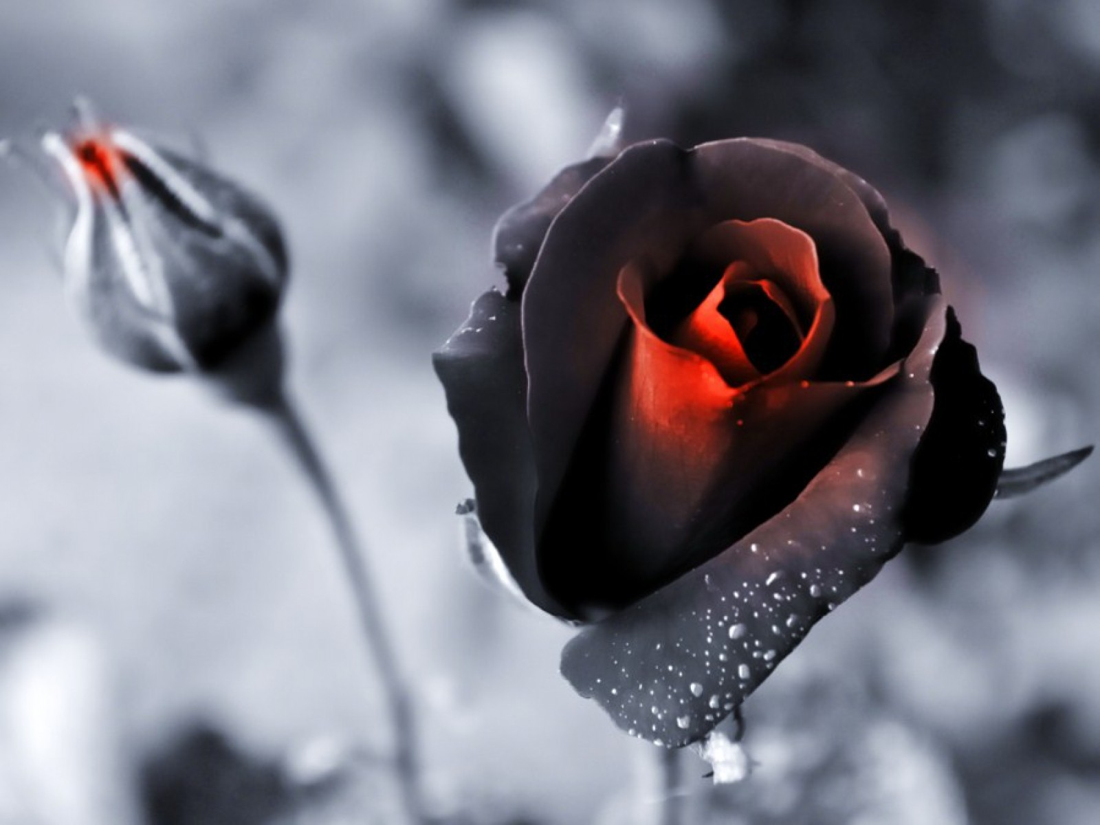 Black And White Photography With Color Roses Industrifo